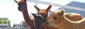 cria-watch-at-alpacamundo