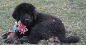 tibetan-mastiff-puppy-alpacamundo-loveland-colorado